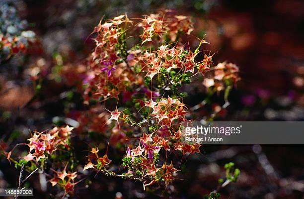 Australian native wildflowers.