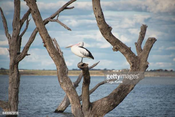 Australian Pelican at Lake Bonney