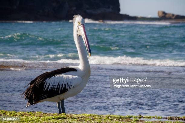 Australian Pelican - Basin Beach