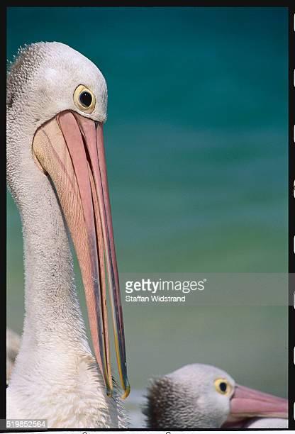 Australian Pelican Bowing Head