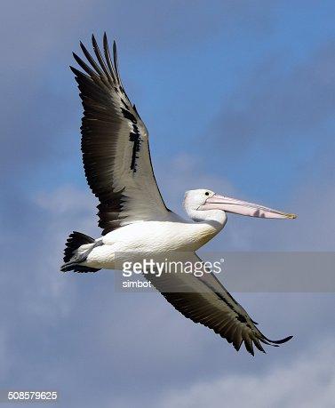 オーストラリアペリカン飛ぶ : ストックフォト