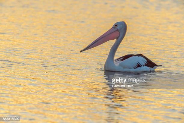 Australian Pelican, Pelecanus conspicillatus, at Sunset, Rockhampton, Queensland, Australia