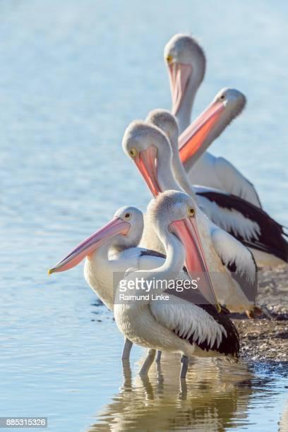 Australian Pelican, Pelecanus conspicillatus, Group of Birds, Rockhampton, Queensland, Australia