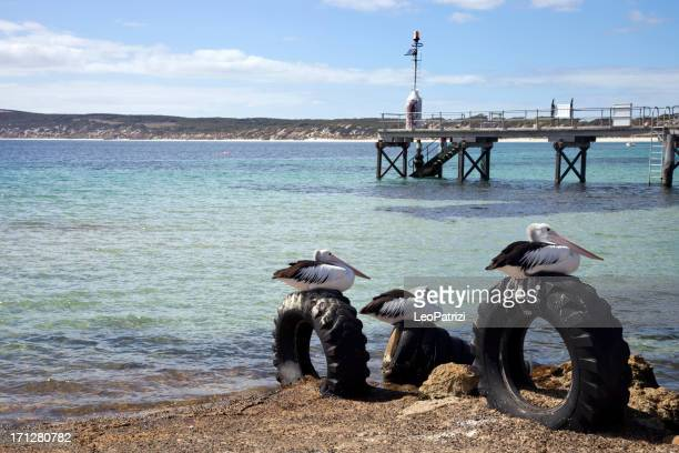 Australian Pelican resting on tires