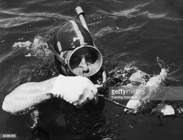 Australian prime minister Harold Holt spearfishing at Portsea near Melbourne Australia Holt went missing while swimming the following year and was...