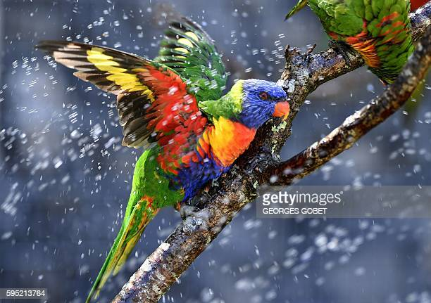 Australian rainbow lorikeets cool off in a sprinkler on August 25 at the zoo of Pessac near Bordeaux as temperatures soar across the country / AFP /...