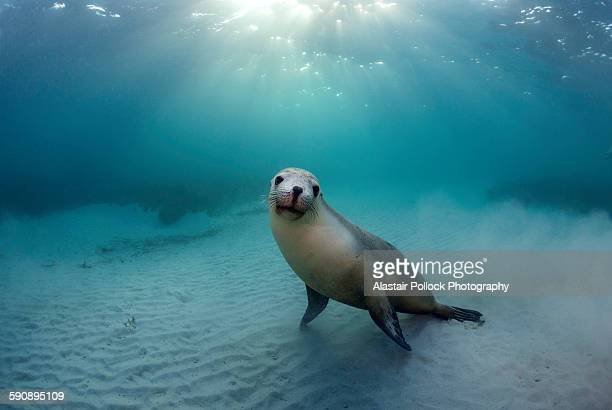 Australian Sea Lion in the Morning Sun