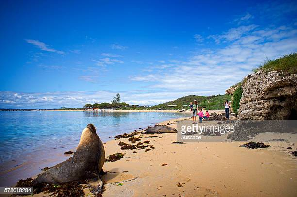 Australian sea lion Neophoca cinerea bull on the beach Their playful and curious nature endears them to tourists and divers Seal Island Shoalwater...