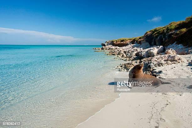 Australian sea lion Neophoca cinerea on beach Carnac Island Nature Reserve off Fremantle Western Australia Australia