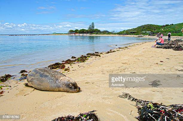 Australian sea lion Neophoca cinerea on the beach Their playful and curious nature endears them to tourists and divers Seal Island Shoalwater Islands...