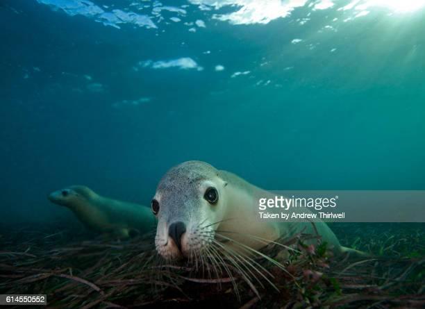 Australian Sealions Undwerwater