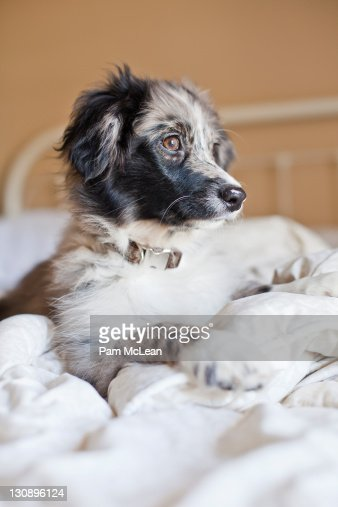 Australian Shepard puppy laying on a bed : Stock Photo