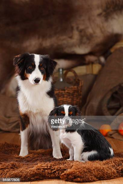Australian Shepherd and Cavalier King Charles Spaniel puppy sitting in a basket