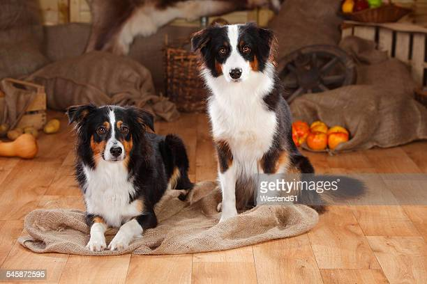 Australian Shepherd and Miniature Australian Shepherd in a barn