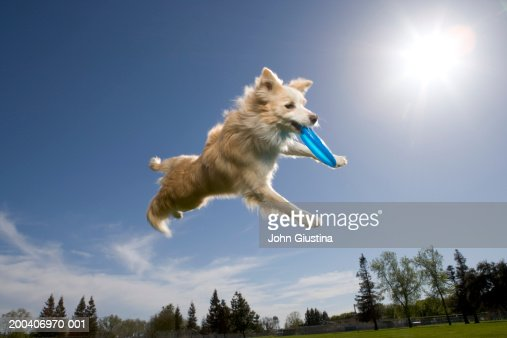 Australian shepherd catching plastic disc in midair