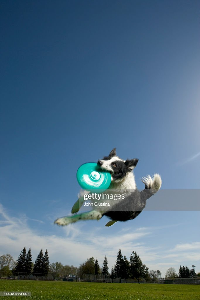 Australian shepherd dog catching flying disk mid-air, low angle view