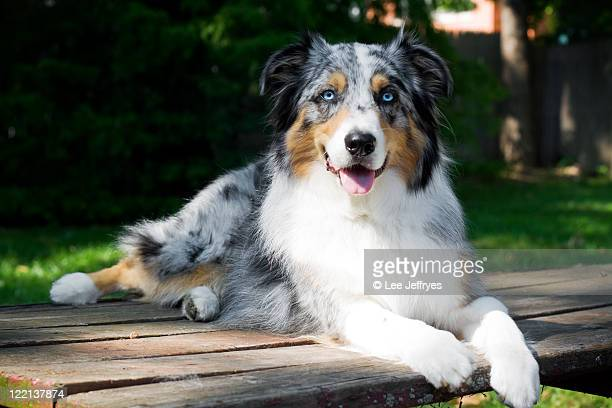 Australian Shepherd dog portrait on picnic table