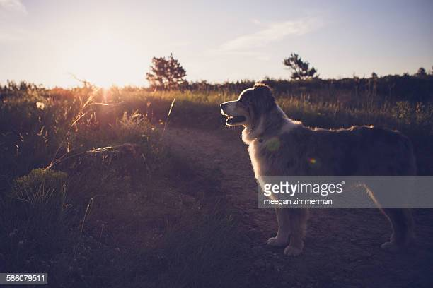 Australian shepherd dog standing in morning light