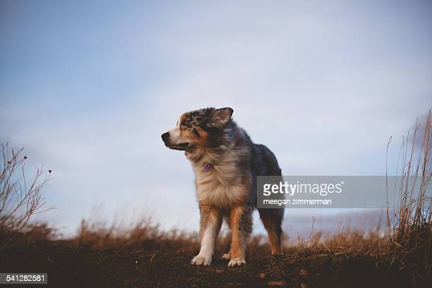 Australian shepherd dog with fur blowing