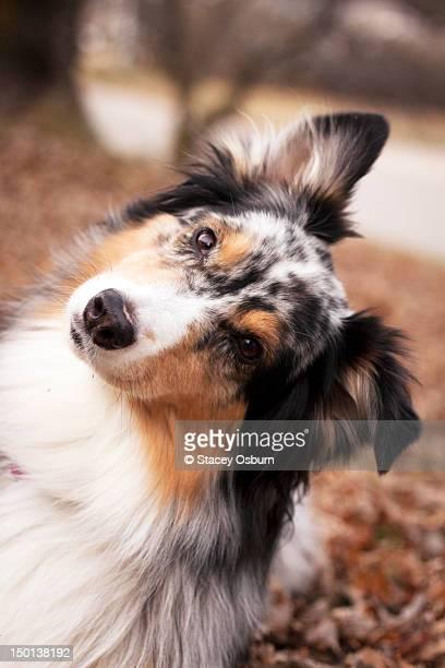 Australian Shepherd Head Tilt