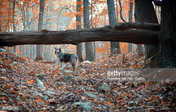 Australian Shepherd In Forest
