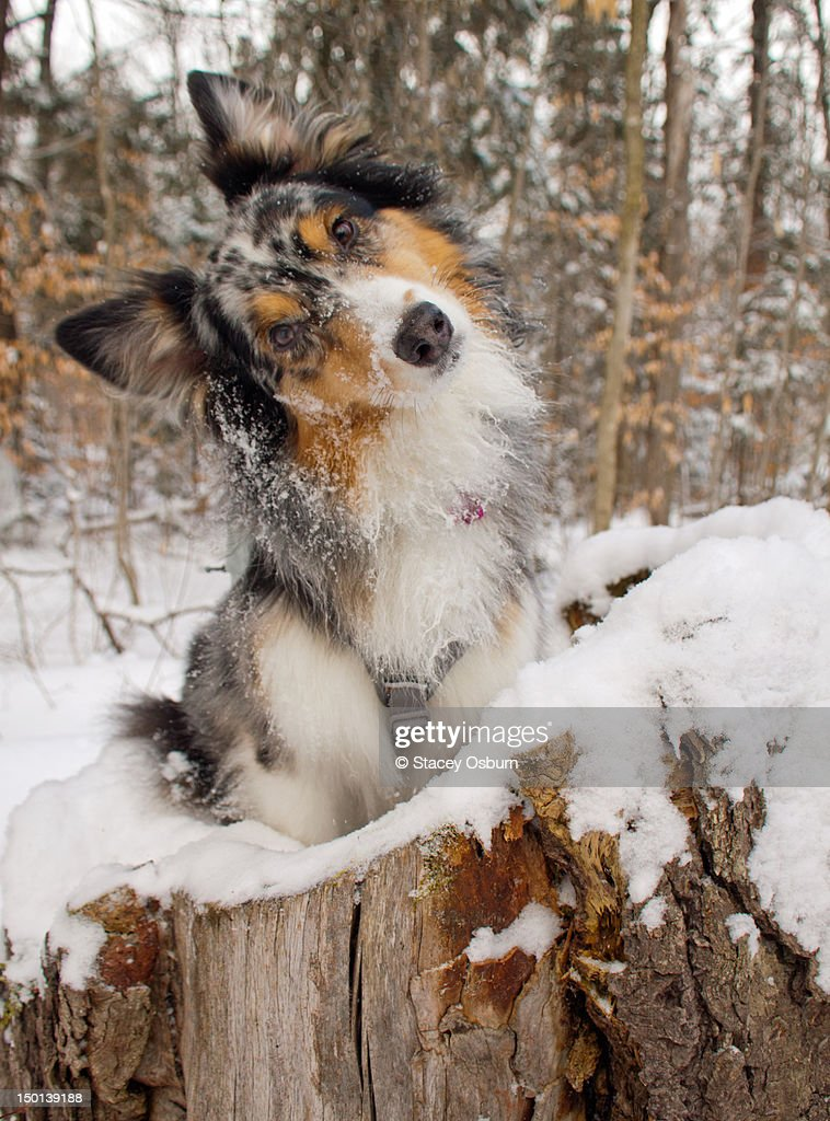 Australian Shepherd in log : Stock Photo