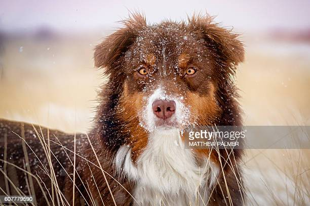 Australian Shepherd in Snow