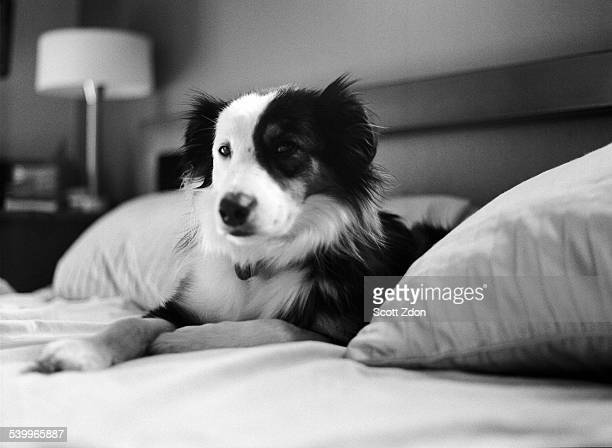 Australian Shepherd on bed, close-up
