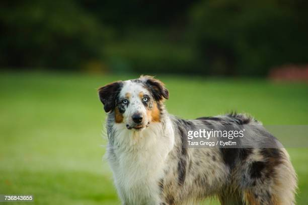 Australian Shepherd On Field At Park