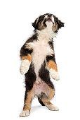 Australian Shepherd puppy standing on hind legs