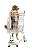 Australian Shepherd pushing a shopping cart