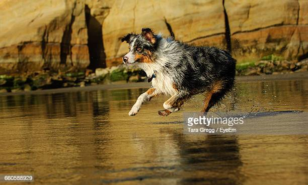 Australian Shepherd Running In Lake