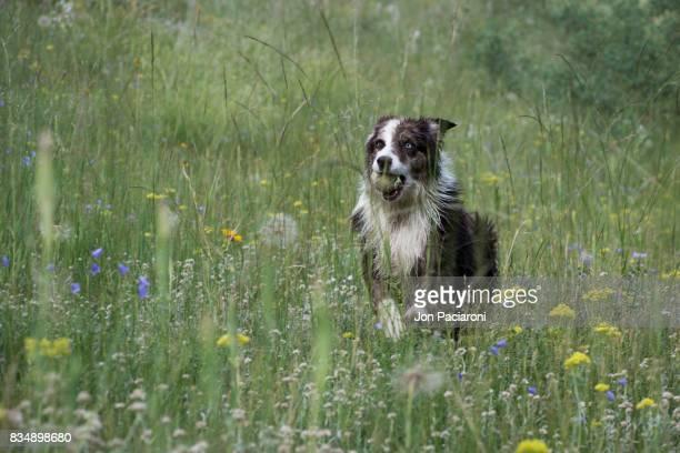 Australian Shepherd running through a field of wild flowers