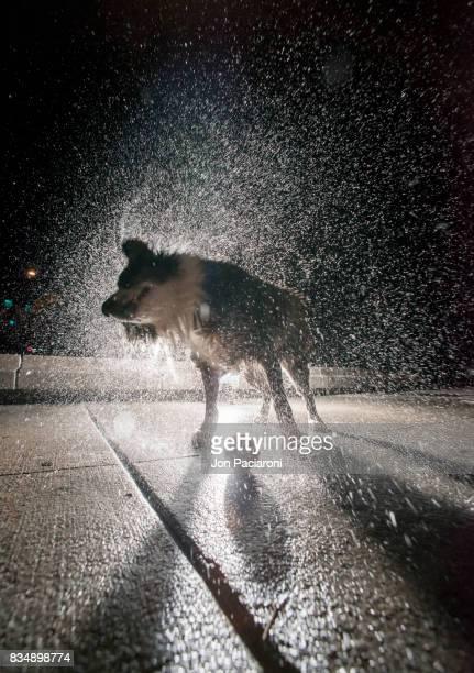 Australian Shepherd Shaking off Water