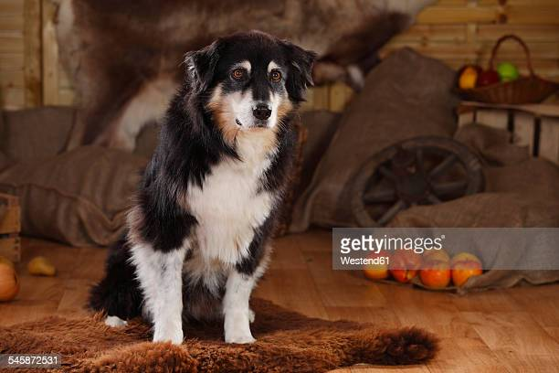 Australian Shepherd sitting in a barn
