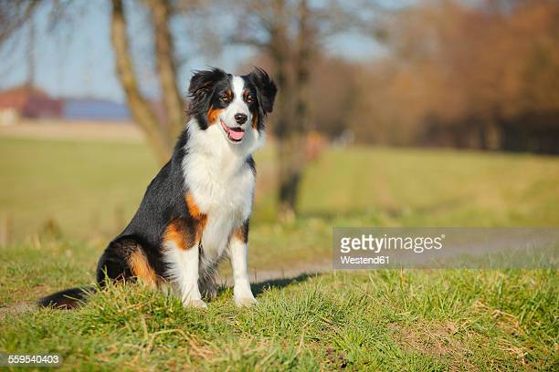 Australian Shepherd sitting on a meadow