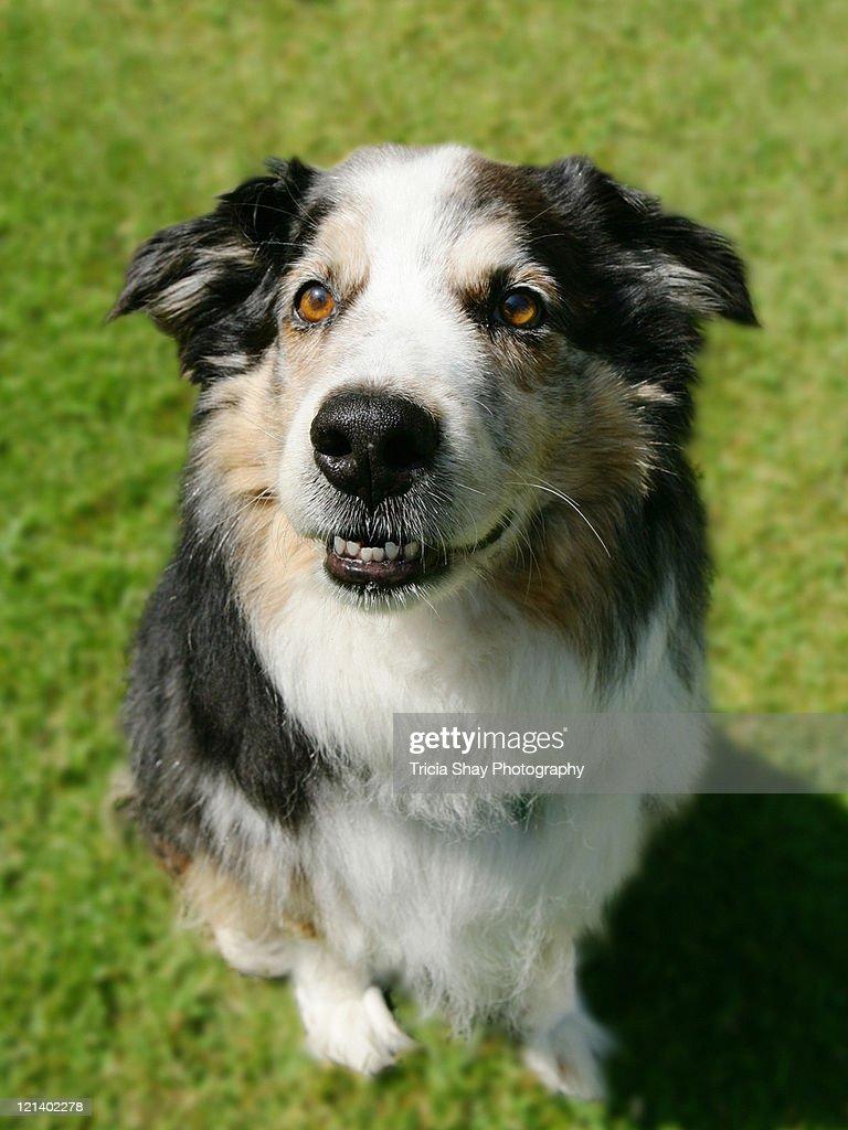 Australian Shepherd smiling at camera : Stock Photo