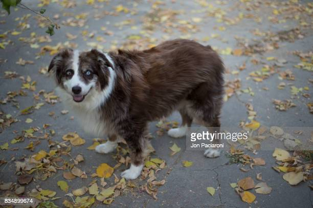 Australian Shepherd standing happily on a sidewalk covered in multi-colored leaves