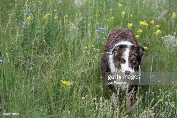 Australian Shepherd standing in a field of wild flowers