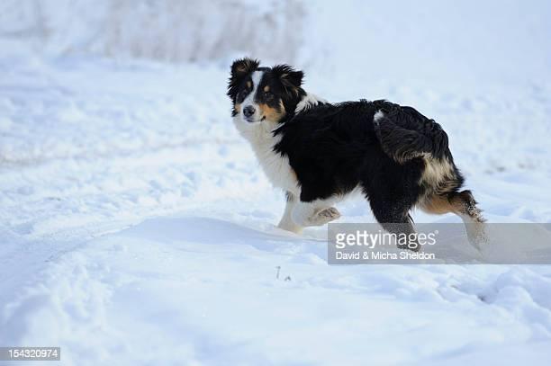 Australian Shepherd standing on snow
