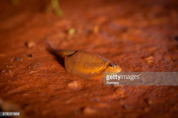 Australian shield shrimp Triops australiensis in muddy water following ...