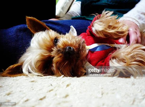 Australian Terrier sleeping on  floor