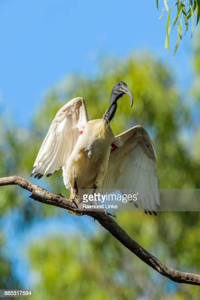 Australian White Ibis, Threskiornis moluccus, Sitting on Tree, Rockhampton, Queensland, Australia