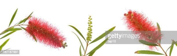 Australian Wild Flowers