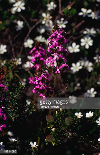 Australian wildflowers.