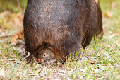 Wombat with a young one walking in grassy area with a baby facing back in her pouch.
