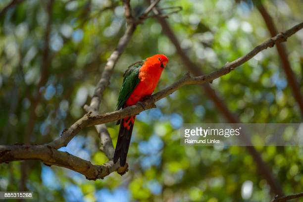 Australische King Parrot, Alisterus scapularis, Rockhampton, Queensland, Australia