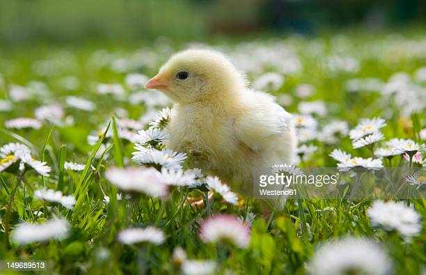 Austria, Baby chicken in meadow, close up