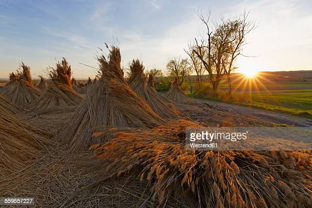 Austria, Breitenbrunn, cone-shaped reed bundles at evening twilight