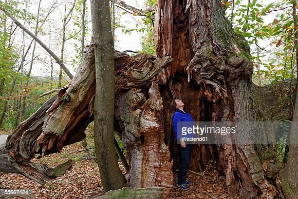 Austria, Burgenland, Liebing chestnut trees